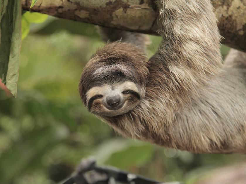 Sloth in Costa Rica (Courtesy Visit Costa Rica)